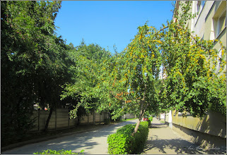 Photo: Corcoduș (Prunus cerasifera) - de pe Str. Macilor - 2017.07.13