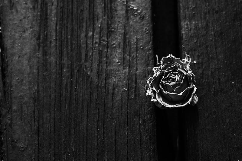 La rosa di fraac