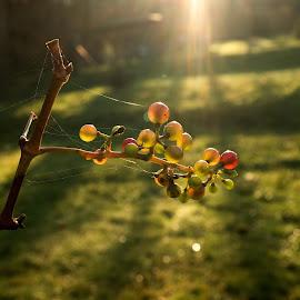Svatomartinské  víno by Vláďa Lipina - Nature Up Close Other plants