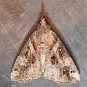 Lantana Defoliator moth