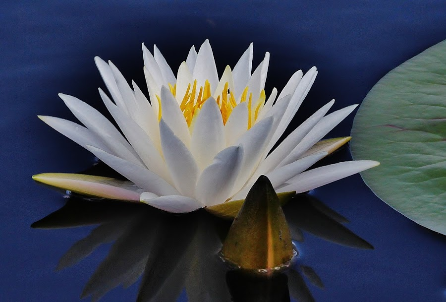 White Lilypad flower by Peg Elmore - Nature Up Close Flowers - 2011-2013 ( water, lilypad, white, yellow center, flower )
