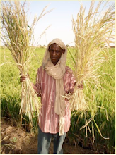 Photo: Timbuktu, Mali, West Africa. October 2008. Africare field agent Ibrahima holds up two indigenous rice plants harvested from a SRI plot. [Photo by Erika Styger]