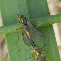 Mating Longlegged Flies