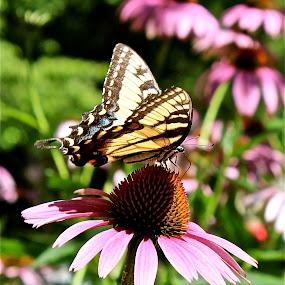 Finally summer. by Peter DiMarco - Flowers Flower Gardens ( pink flower, butterfly, flowering, daisy, flower,  )