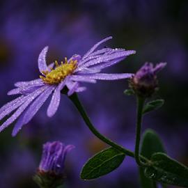Dew  by Todd Reynolds - Flowers Single Flower