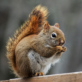 Red Squirrel on Wooden Fence by Jeff Galbraith - Animals Other Mammals ( fence, wooden, red, windy, furry, eating, cute, rodent, squirrel )