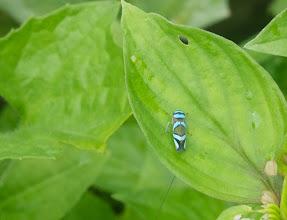 Photo: Blue Bug