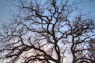 Photo: Fractal Tree @ Rancho San Antonio County Park, Cupertino, CA - http://photo.leptians.net/#Fractal_Tree.jpg
