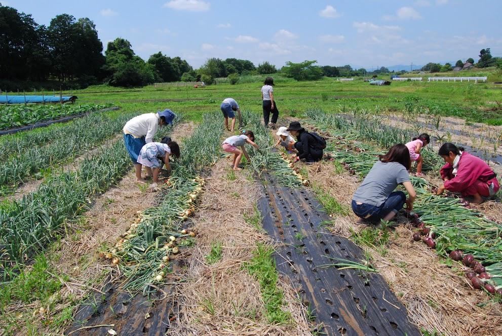 玉ねぎの収穫は3歳の子でも楽しめます。こどもたちも大活躍でした。