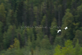 """Photo: Trumpeter swans in flight as seen on the Tatshenshini River. The """"Tat"""" flows out of Yukon, CA, through British Columbia and empties into Glacier Bay National Park in Alaska, US. near the Tashenshini River. The """"Tat"""" flows out of Yukon, CA, through British Columbia and empties into Glacier Bay National Park in Alaska, US."""