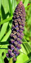 Photo: Muscari comosum, cipollaccio, lampascione, tassel hyacinth