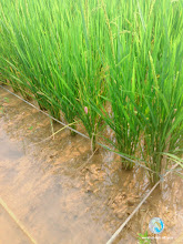 Photo: SRI crop