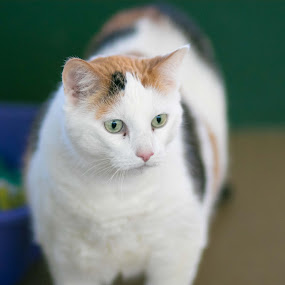 Love by Jill Zwick - Animals - Cats Portraits ( pet portrait, cats, pet photography, shelter cats, cat portrait )
