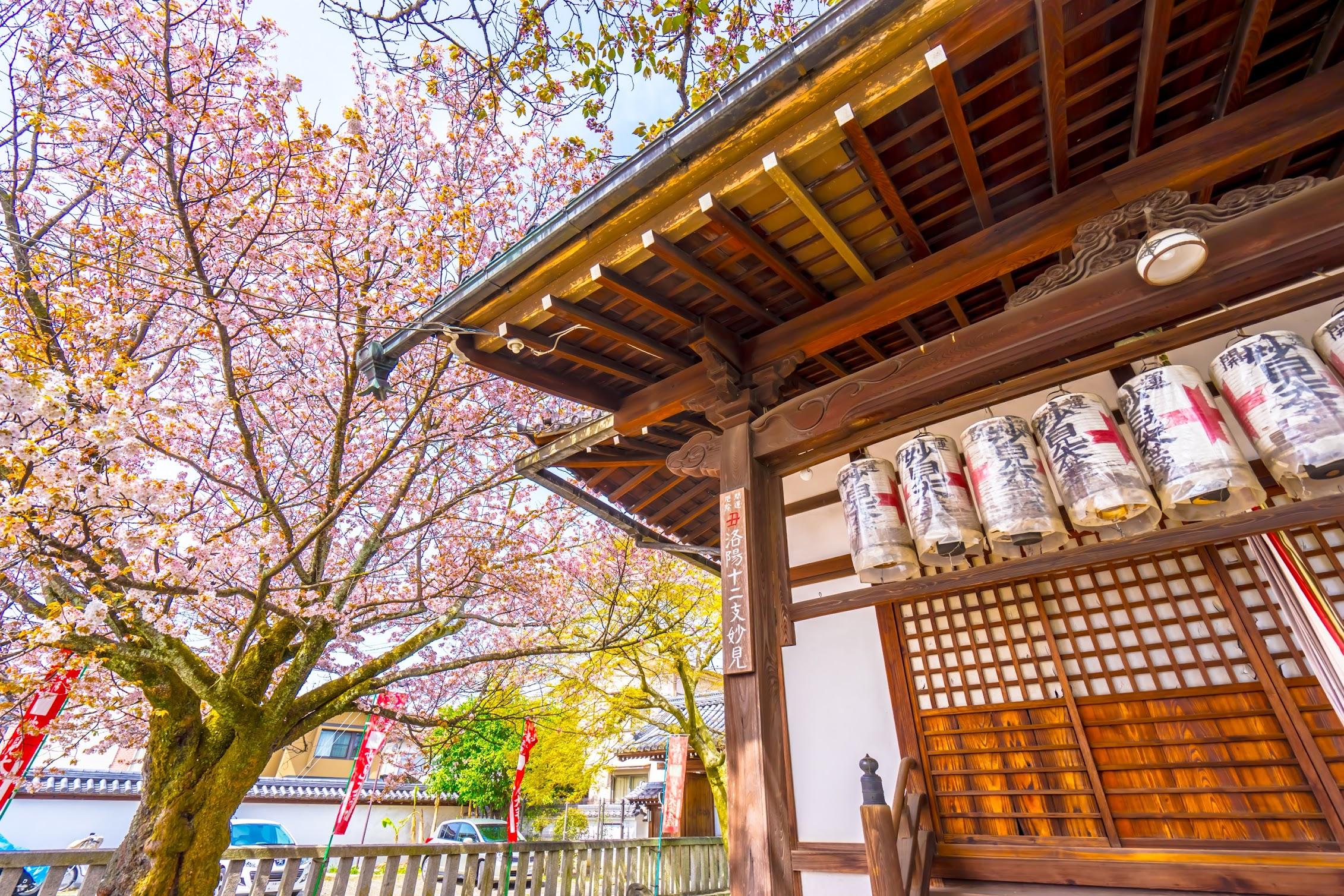 京都 本満寺 桜3