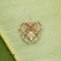 Garden Orb Weaver Male