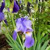 Blue german Iris (Μπλε ίριδα)