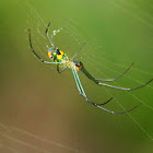 Venusta Orchard Orb Weaver Spider