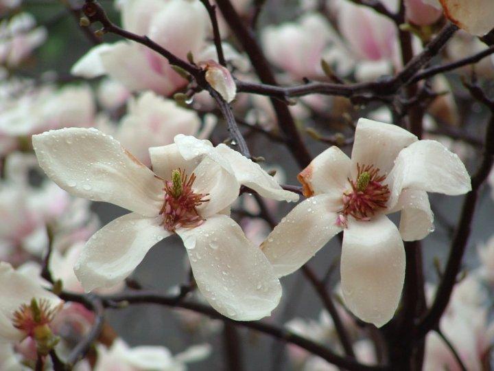 magnolia di marco