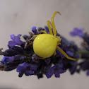 Goldenrod crab spider / Cvjetni pauk