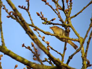 Photo: Priorslee Lake 'don't you stick your tongue out at me'! A Chiffchaff seems to be transferring a small insect from its bill to its tongue. Not 100% sharp but included for interest. (Ed Wilson)