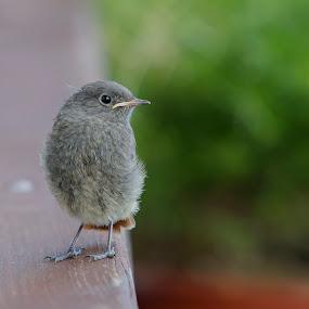 A little bird by Boris Podlipnik - Animals Birds ( ornithology, nature, outdoors, wildlife, birds,  )