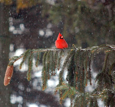 Photo: my cardinal buddy in the tree out front