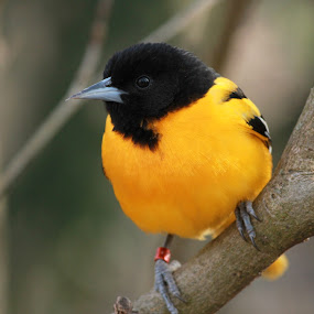 Watching You by Julia Nicely - Animals Birds ( bird, stare, yellow, pretty, black )