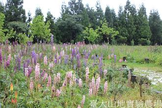 Photo: 拍攝地點: 梅峰-一平臺 拍攝植物: 羽扇豆(魯冰花) 拍攝日期:2012_05_19_FY