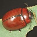 Paropsisterna rufobrunnea