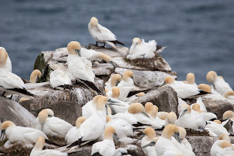 Photo: Northern Gannet, Cape St Mary's
