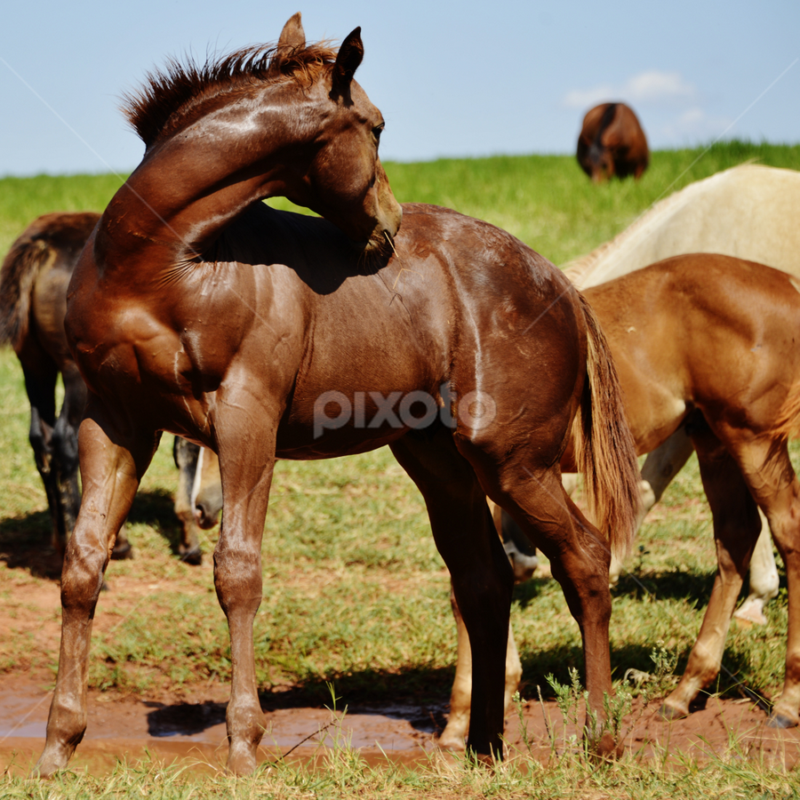Bauru SP Brazil  by Marcello Toldi - Animals Horses