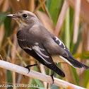 Pied Flycatcher; Papamoscas Cerrojillo