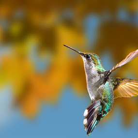 by Lyle Gallup - Animals Birds ( bird, flying, sky, delicate, colorful, colors, hummingbird, flowers, small, animal,  )
