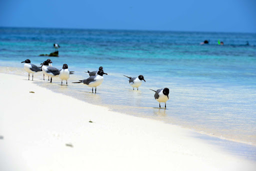 Belize-birds-beach.jpg - Beachcombing birds on a Belize beach.