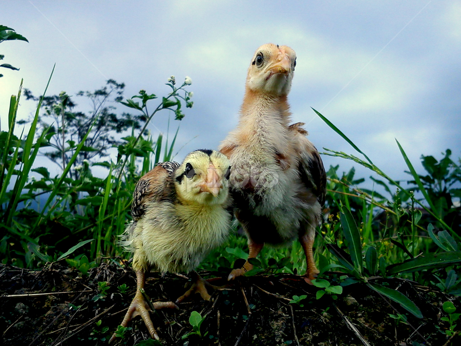 Lost by Adnan Hidayat Prihastomo - Instagram & Mobile Other ( chick, chiken, animal )