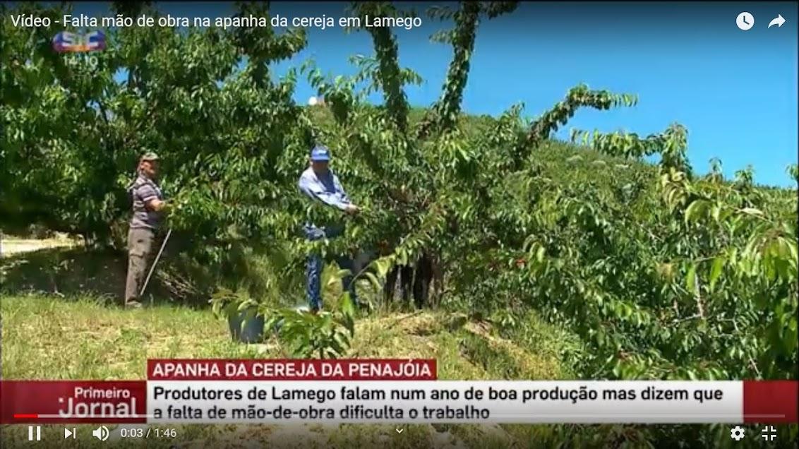 Vídeo - Falta mão de obra na apanha da cereja em Lamego