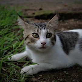 Tatapan Mata Kucing by Alif  Art - Animals - Cats Kittens ( #cats #animal #eyecat )