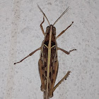 Brown‐spotted Locust