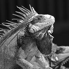 Iggie by Benjamin Howen III - Animals Reptiles ( #GARYFONGPETS, #SHOWUSYOURPETS )