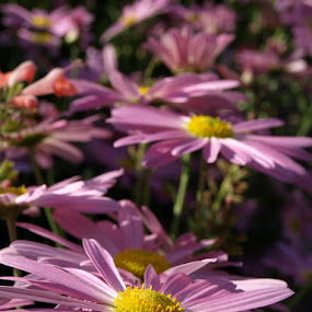 The Pink of Summer by Alex Santos - Nature Up Close Flowers - 2011-2013 ( nature, pink, yellow, flowers, flower )