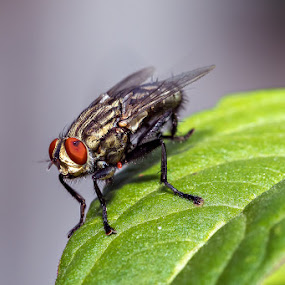 House Fly by Ramakant Sharda - Animals Insects & Spiders ( macro, macrophotography, micro, macro photography, fly, house, insects, insect )