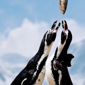 Here comes my lunch by Alfonso Rahardja - Animals Birds ( animals, fauna, penguins, birds, small animals )