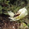 Narrow-winged longhorhorn beetle