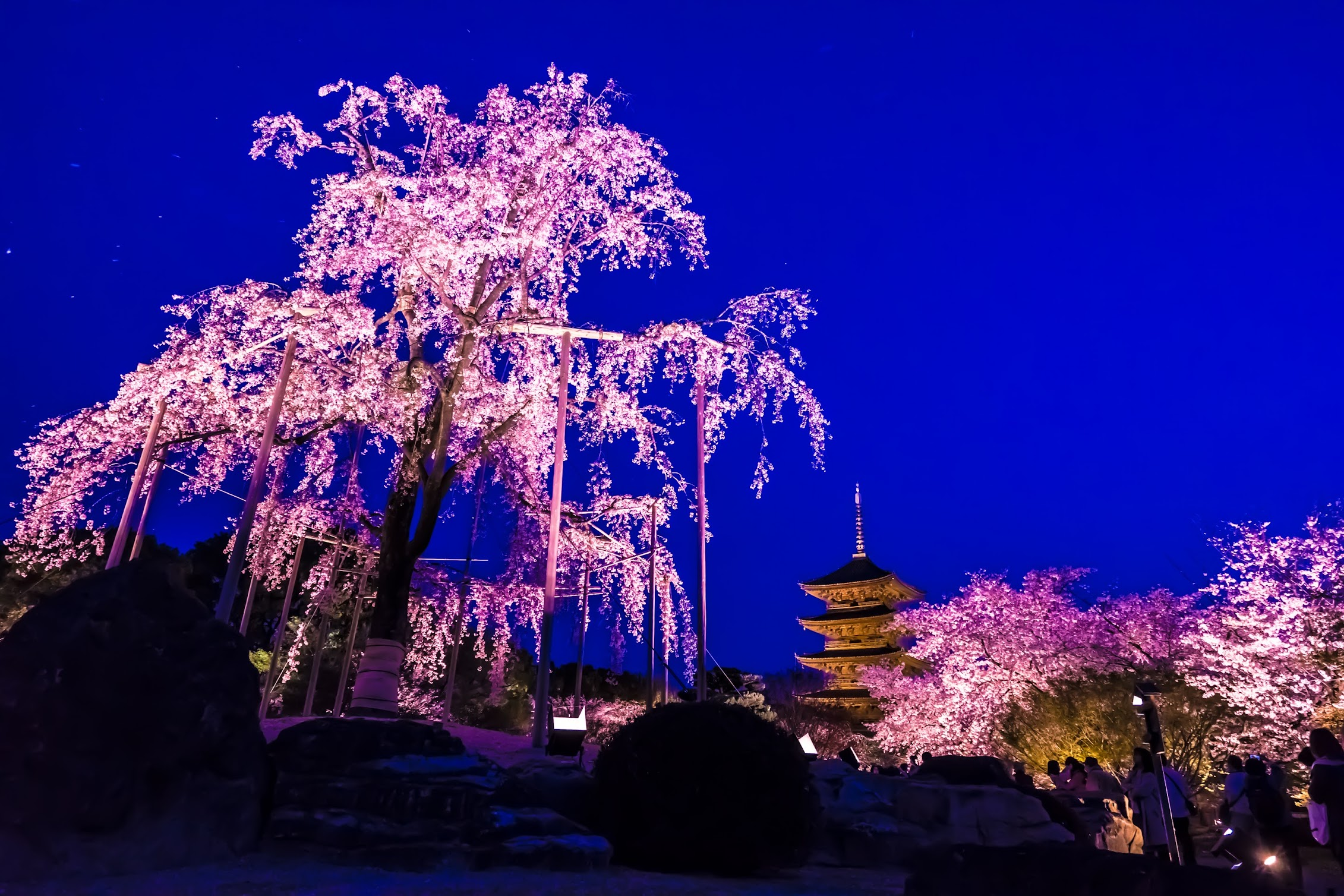 京都 東寺 桜 ライトアップ1