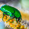 Green Flower Chafer