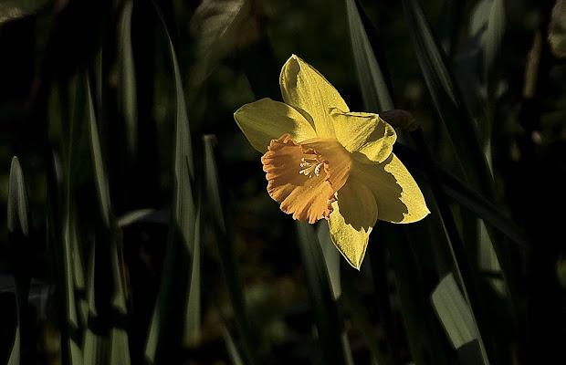 Giunchiglia , annuncio di primavera di mariarosa-bc