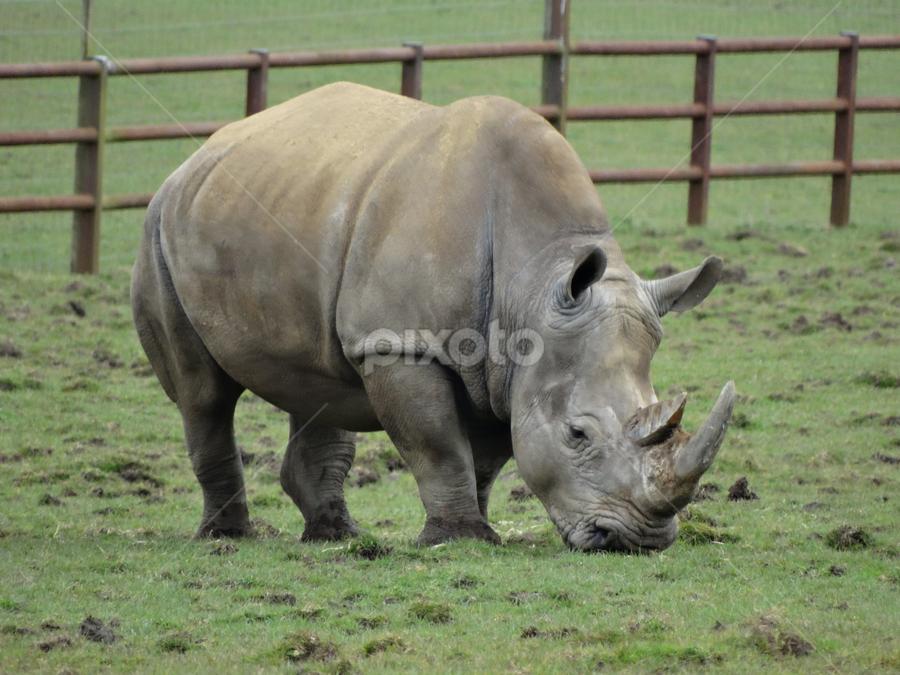 rhino by Iain Weatherley - Animals Other Mammals ( rhino,  )