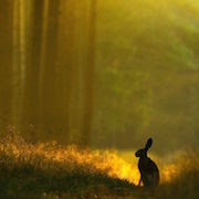 К чему снится заяц во сне?