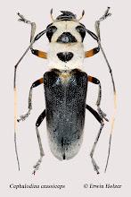 Photo: Cephalodina crassiceps, 13,5 mm, Costa Rica, Playa Zancudo (08°21´/-83°08´), leg. Erwin Holzer, det. Herbert Schmid