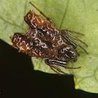 Arrow head spider